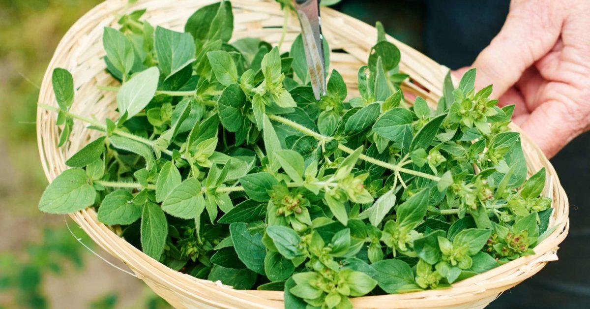 گیاهان دارویی مؤثر در تقویت سیستم ایمنی بدن