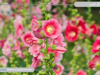 با گل ختمی و خواص آن برای سلامتی آشنا شوید