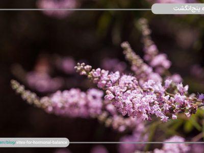 گیاه پنجانگشت چیست و چه تاثیری در تعادل هورمونی دارد؟